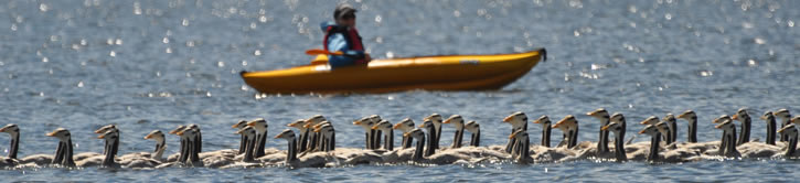 Rounding up geese by canoe